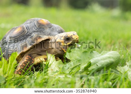 Red-Footed Tortoise snacking on lettuce - stock photo