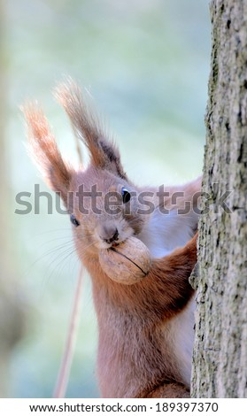 Red forest squirrel playing outdoors.