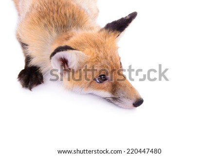 red fox. animal isolated on white background top view - stock photo