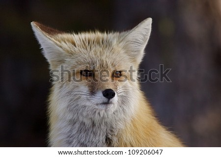 Red Fox - Cascade Mountains subspecies - detailed portrait against a dark background;  Mount Rainier National Park