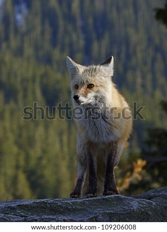 Red Fox (Cascade subspecies) on rock ledge with evergreen forest in background, at Mount Rainier National Park, Washington; Pacific Northwest wildlife / animal / nature / outdoors / recreation - stock photo