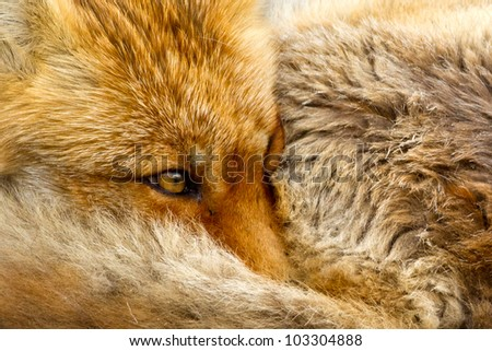 Red fox close up - stock photo
