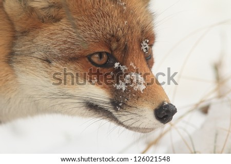 Red Fox Close up in the Snow in Winter