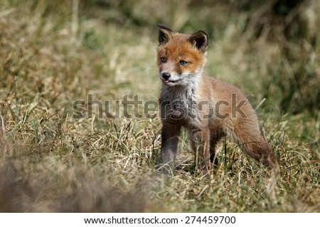 Red fox cub - stock photo