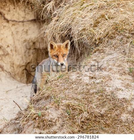 Red fox cub - stock photo