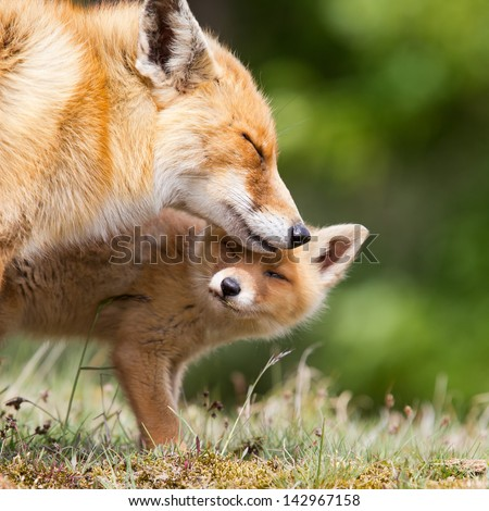 Red fox cub and mother. - stock photo