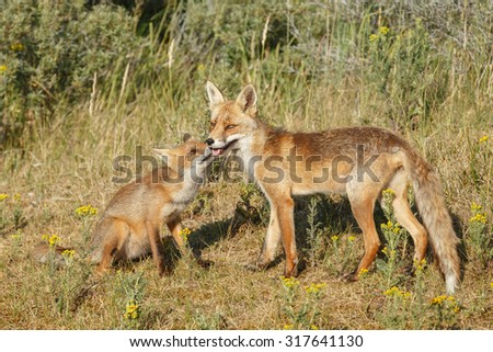 Red fox cub and mother  - stock photo