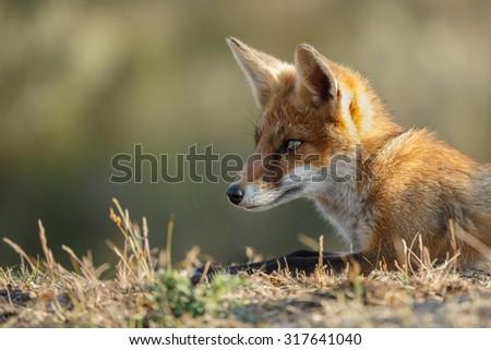 Red fox cub close up - stock photo