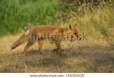 Red Fox Cub gaping