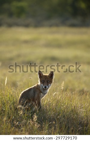 Red fox Cub in backlight  - stock photo
