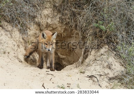 Red fox cub in front of the fox den entrance - stock photo