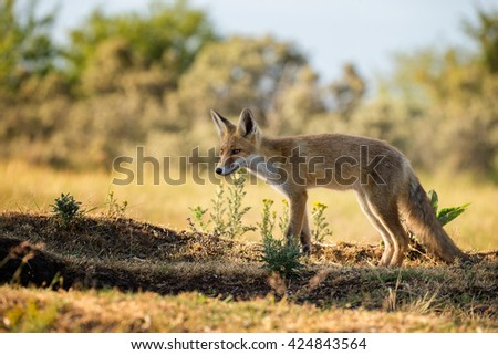 Red fox cub in nature - stock photo