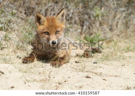 Red fox cub in nature in springtime