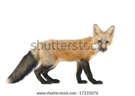 Red fox cub isolated on a white background - stock photo