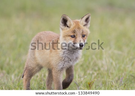 Red Fox cub Standing on the Grass