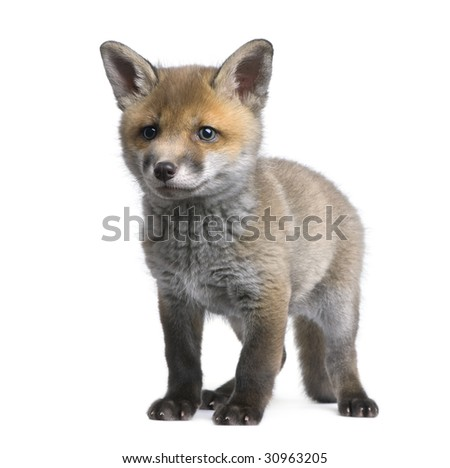 Red fox cub (6 Weeks old)- Vulpes vulpes in front of a white background - stock photo