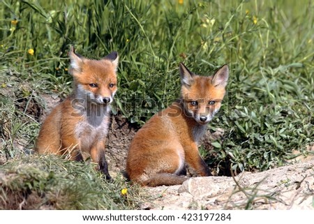 red fox cubs resting near the burrow ( Vulpes vulpes ) - stock photo