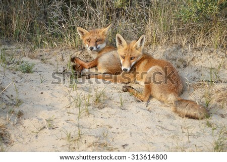 Red fox cuddling. - stock photo