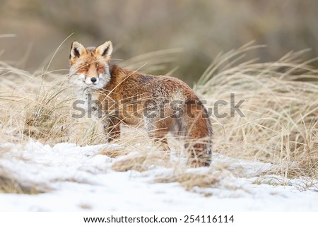 Red fox in a winter landscape - stock photo