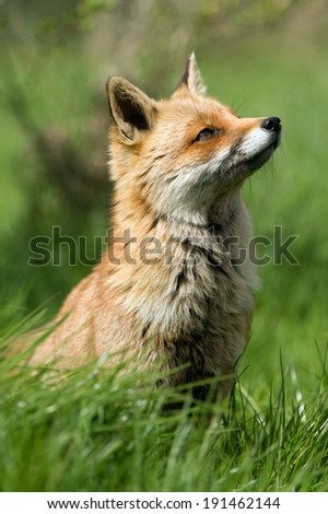 Red Fox in long green grass/Red Fox/Red Fox - stock photo