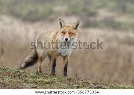 Red fox in nature in drizzle