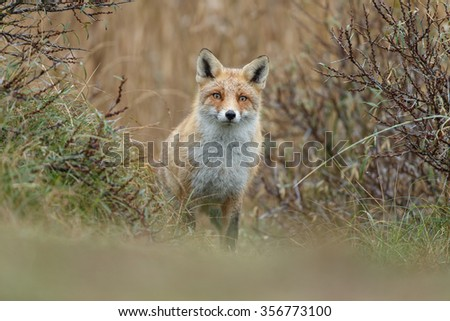 Red fox in nature in drizzle  - stock photo