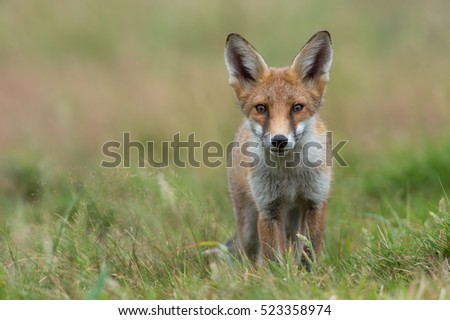 Red Fox in summer meadow (Vulpes Vulpes)