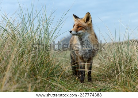 Red fox in the dunes - stock photo