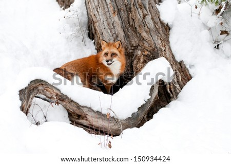 Red Fox in Winter - stock photo