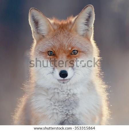 red fox in winter forest Pretty - stock photo