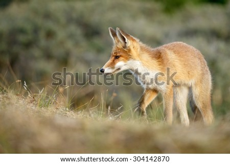 Red fox juvenile - stock photo