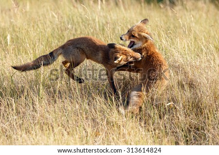 Red fox juvenile fighting - stock photo