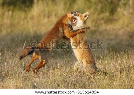 Red fox juvenile fighting - stock photo