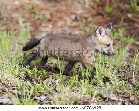 Red fox kit (juvenile) practices its stalking skills in the forest.  The kit's coat is just starting to display the characteristic red coloration. - stock photo