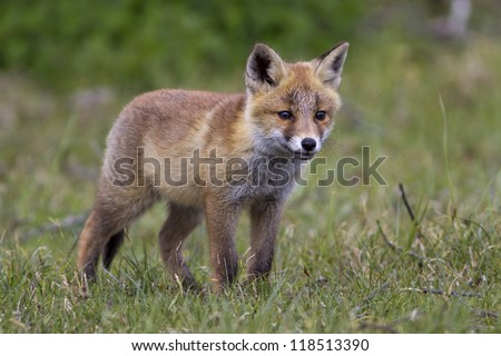 Red Fox Kit Standing on the Grass