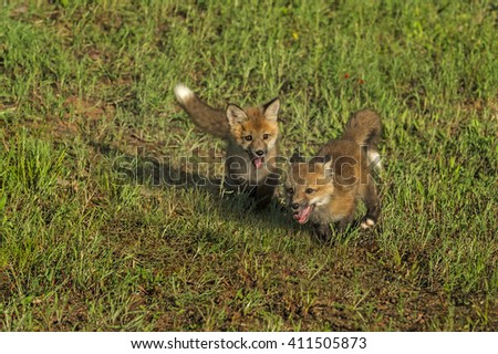 Red Fox Kits (Vulpes vulpes) Run Wildly - captive animals