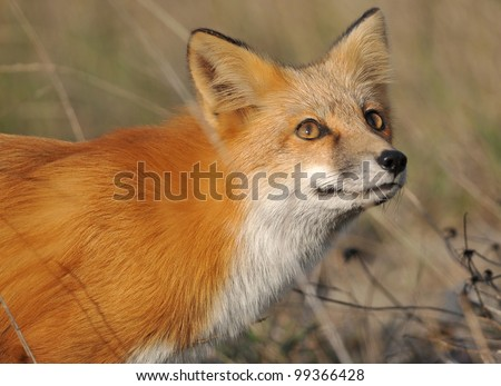 Red Fox looking at the Sky - stock photo