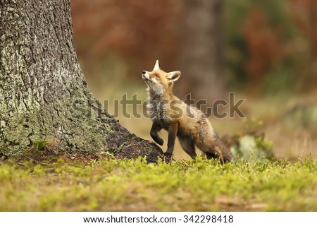 red fox looking up to tree