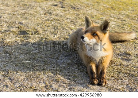 Red Fox Lying on the Grass and Looking Up