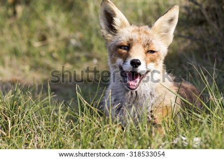 Red Fox Lying on the Grass with Mouth Open Because of the Warmth