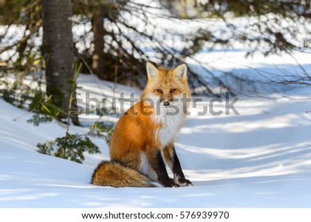 Red Fox Male Sitting on Snow in Winter