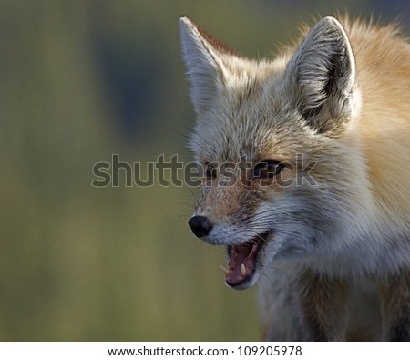 Red Fox, mouth open and canine teeth visible, close-up portrait against green background; Mount Rainier National Park, Washington; Pacific Northwest wildlife / animal / nature / outdoors / recreation - stock photo