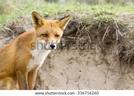 Red Fox on a Sand and Grass Background