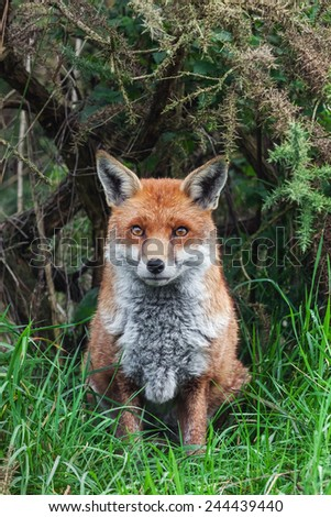 Red fox on guard. A lovely red fox appears to be on guard as he sits in front of vegetation. - stock photo