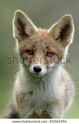 Red fox portait - stock photo