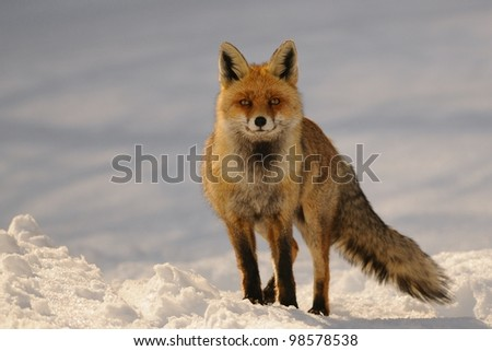 red fox portrait in sunset light - stock photo