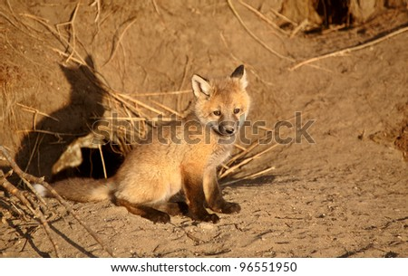 Red Fox pup at den - stock photo