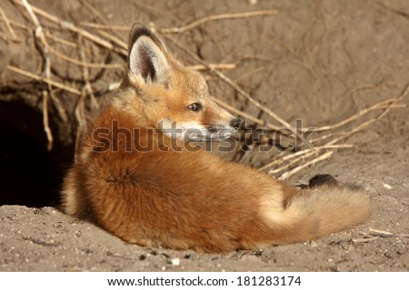 Red Fox pup near its den - stock photo
