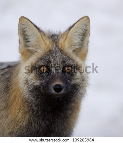 Red Fox (rare Cascade color phase), gorgeous portrait isolated against snowy background, Mount Rainier National Park, Washington; Pacific Northwest wildlife / animal / nature / outdoors / recreation - stock photo