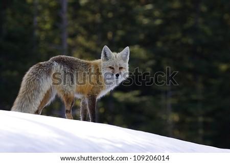 Red Fox (rare Cascade subspecies) in Winter Habitat in the Cascade Mountains, Mount Rainier National Park, Washington; Pacific Northwest wildlife / animal / nature / outdoors / recreation - stock photo
